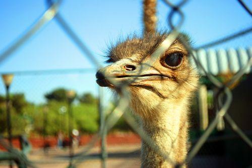 strutis,gyvūnas,stručio stebėjimas,gyvūnai,zoologijos sodas,fauna,ave,kaklas,gamta,stručių žvilgsnis,stručiai,ilgas kaklas,piko