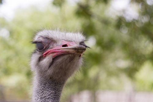 strutis,galva,gyvūnai,zoologijos sodas,afrikinis strutis,stručio galvą,gyvulio galvą,paukštis,krupnyj planas,snapas