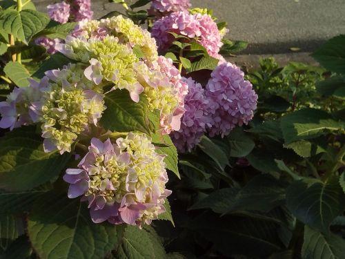 kiti mokymo pasiūlymai,hydrangea gėlės jia,gamta,gėlės,gaivus,rožinis,žydėti,šviesus,sodas,rausvos gėlės,žalias,žydi,krūmų gėlės