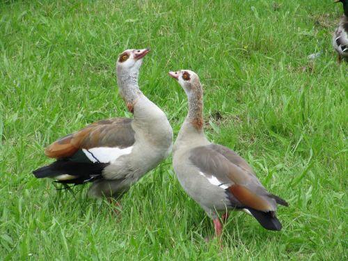 otelė nilo,pora,rašiklis,paukštis,kaklas,snapas,fauna,laukinis gyvūnas,ilgas kaklas,paradas,komunikacija