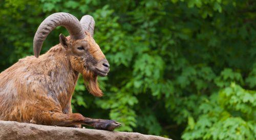 gyvūnas, ruda, miškas, ožka, ragas, Patinas, žinduolis, mufloras, gamta, ovis, portretas, avys, laukiniai, laukinė gamta, ovis avys