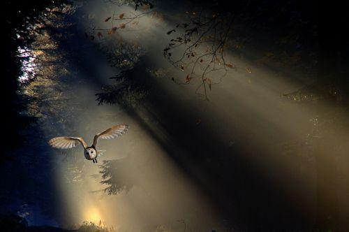 pelėdos,kiauras pelėdos,gyvūnas,paukštis,miškas,skristi,skrydis,saulės spindulys,šviesa,šviesos spindulys,apšvietimas,nuotaika,mistinis,raptoras,naktinis,gamta,gyvūnų pasaulis,filialai