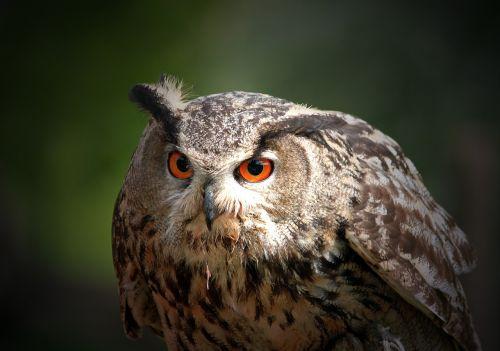 pelėdos,erelis pelėda,paukštis,plumėjimas,apšviesta akis