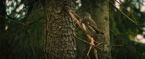 pelėdos,paukštis,gyvūnas,gamta,laukiniai,filialas,miškas,medžiai,bagažinė,fauna,laukinė gamta,žiūri