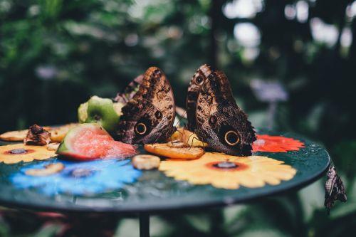 pelėdos drugelis,drugeliai,drugelis,maitinimas,drugelis namas,kaligotas