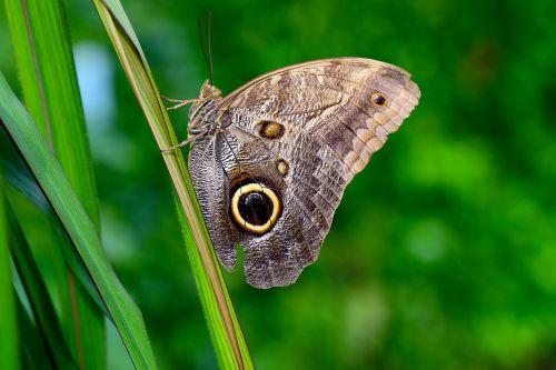 pelėdos drugelis,drugelis,vabzdys,gyvūnas,atogrąžų drugelis,edelfalter