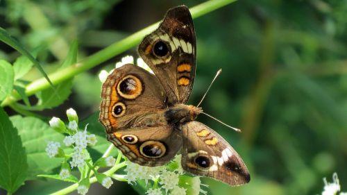 pelėdos drugelis,augalas,vabzdys,sparnai,makro,didelis,spalvinga,nektaras,maistas,eyepots,juoda,gamta,kaligotas