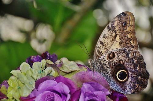 pelėdos drugelis,drugelis,kaligotas,nymphalidae,vabzdys,Caligo eurilochus,apačioje,šlaunų apačia