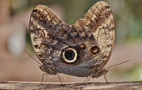 pelėdos drugelis,drugelis,kaligotas,nymphalidae,vabzdys,Caligo eurilochus,apačioje,šlaunų apačia,pora,meilė,gyvūnai,dvylika