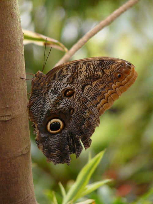 pelėdos drugelis,brassolini,drugelis,Caligo eurilochus,satyrinae,edelfalter,nymphalidae,kaligotas,didžiausias drugelis,didelis drugelis,neotropinis ezoconas,skristi,sparnas,vabzdys,gamta,ruda,akis,vieta,drugelis namas,atogrąžų namas,egzotiškas,atogrąžų