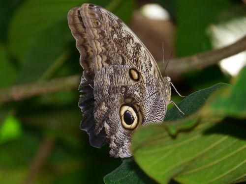 pelėdos drugelis,brassolini,drugelis,Caligo eurilochus,satyrinae,edelfalter,nymphalidae,kaligotas,didžiausias drugelis,didelis drugelis,neotropinis ezoconas,skristi,sparnas,vabzdys,gamta,ruda,akis,vieta,egzotiškas,atogrąžų,apačioje,šlaunų apačia