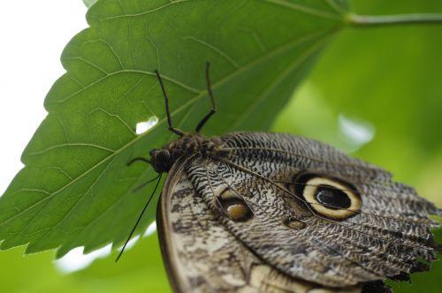 pelėdos drugelis,drugelis,drugelis namas,Mainau sala,mainau,atogrąžų,egzotiškas,exot,sparnas,vieta