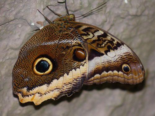 pelėdos drugelis,drugelis,kaligotas,edelfalter,nymphalidae,vabzdys,Caligo eurilochus,apačioje,šlaunų apačia