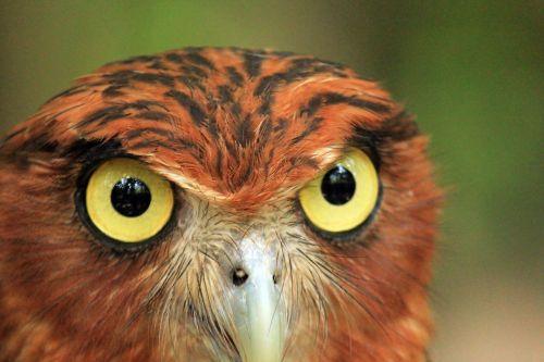 owl & nbsp, akys, pelėdos, akys, apvalios & nbsp, akys, gyvūnų akys, paukščiai & nbsp, akys, akis, mokinys, plunksna, kailis, didelis & nbsp, akys, didelis & nbsp, apvalus & nbsp, akis, pelėdos akys