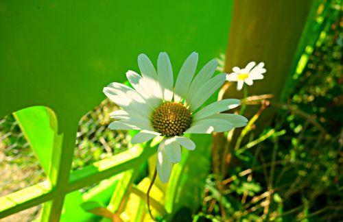 Oksėjaus daigai,Daisy,gėlė,žiedas,žydi,augalas,pavasaris,vasara,žiedlapiai,flora,gamta,balta,geltona,ožkų akys,bendra daisy,šuo daisy,Mėnulio daisy,chrysanthemum leucanthemum,leucanthemum vulgare,asteraceae
