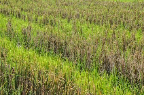 paddy,paddy laukas,žalias,Indonezija,žolė,po derliaus nuėmimo,derlius,ryžiai,sezonas,pasėlių,augalas,ūkis