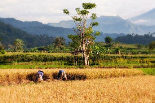 paddy,bali,ryžių auginimas,ryžių derlius,derlius,Žemdirbystė,kraštovaizdis,auginimas,lauko auginimas,Indonezija,kelionė,šventė