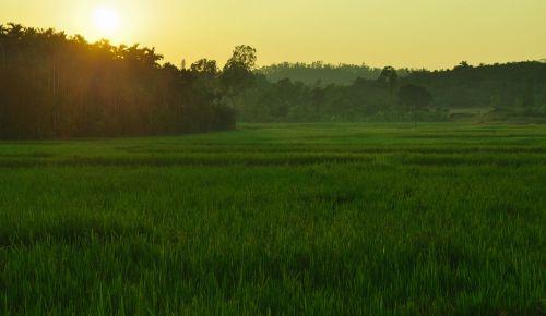 paddy laukas,saulės šviesa,sagara,Indija,ryžiai,paddy,Žemdirbystė,kraštovaizdis,dykuma,peizažas,natūralus,laukiniai,lauke,aplinka,vaizdingas,žemė,gamta,derlius,pasėlių