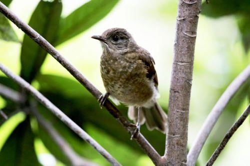 paige,paukštis,atogrąžų,filiale,laukiniai,žiūri,maža paukštis,atogrąžų paukštis