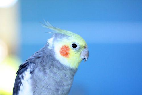 paige,paukštis,paukštis,gamta,laisvė,ekologija,lizdas,spalvinga paukštis,laisvas paukštis,atogrąžų paukščiai