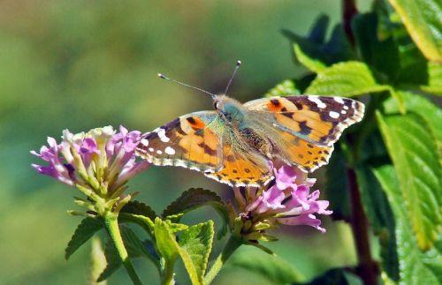 drugelis, dažytos & nbsp, panele, Cardui, vanessa, dažytos, Lady, vabzdys, gamta, gėlė, vasara, lepidoptera, augalas, laukinė gamta, klaida, spalvinga, sparnai, poilsio, žiedas, laukiniai, spalvinga, pavasaris, antena, dažytos panele