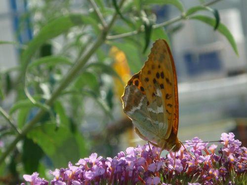 dažytos panele,gamta,drugelis,dienos drugelis,drugelis krūmas,daug,mažas,rožinės gėlės,lova,kelio pusė,vasara,Uždaryti