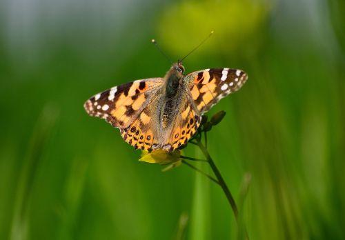 tapytojos drugelis,drugelis ant garstyčių augalo,drugelis su žalia fone