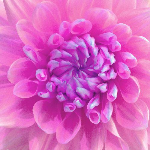 dažytos, meno, iliustracija, gėlė, dahlia, rožinis, graži, gražus, flora, minkštas, žiedlapiai, dažytos rožinės gėlės