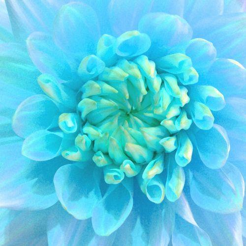 dažytos, meno, iliustracija, gėlė, dahlia, turkis, mėlynas, graži, gražus, flora, minkštas, žiedlapiai, dažytos turkio gėlės