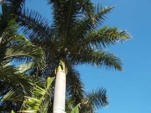 delnas,palmių šakos,dienos palmių,fronds,florida,fort lauderdale,žalias,augalas,lapija,botanika,atogrąžų,medis,trejetas,šiltas