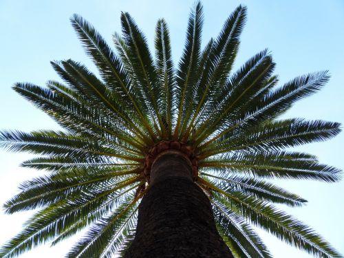 delnas,medis,dienos palmių,šešėlis,gentis,žurnalas,palmių šaknis,girnas,palmių lapelis,lapai,siela,Kanarų salos datos palmių,Phoenix canariensis,phoenix,palmė,ascaceae,karūna,lapų vynuogės,žalias,baldakimas