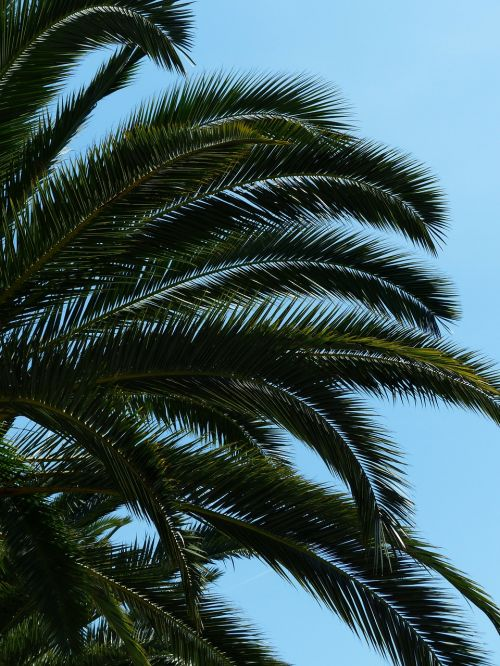 delnas,medis,dienos palmių,šešėlis,lapai,siela,Kanarų salos datos palmių,Phoenix canariensis,phoenix,palmė,ascaceae,karūna,lapų vynuogės,žalias,baldakimas,pinnate,lankstinukai