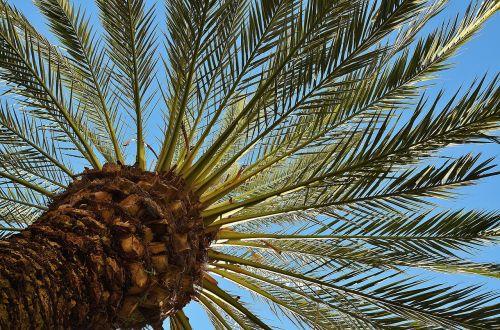 delnas,medis,dienos palmių,šešėlis,gentis,žurnalas,palmių šaknis,girnas,palmių lapelis,lapai,siela,Kanarų salos,Phoenix canariensis,phoenix,palmė,ascaceae,karūna,lapų vynuogės,žalias,baldakimas