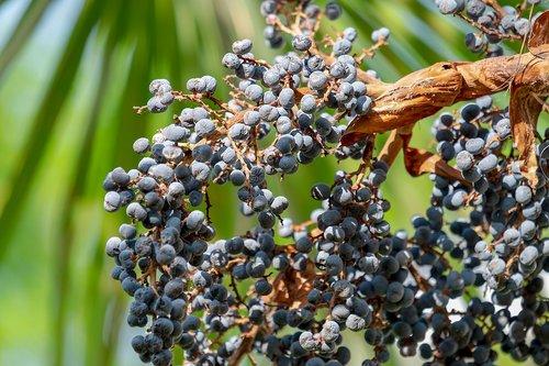 palmių, kanapių palmių, skėtis palmių, vaisiai, mėlyna, valgomieji, augalų, palmė, kinų hanfpalme, Trachycarpus fortunei, Viduržemio jūros