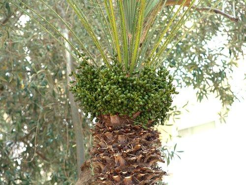 palmių, vaisiai, data palmių, datos, Tropical, egzotiškas, medis, augalų, subtropikų, atostogos