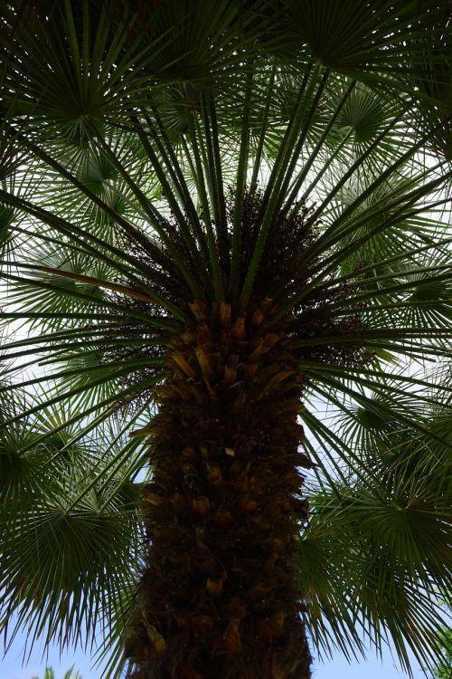 delnas,dienos palmių,medis,palmė,phoenix,phoenix dactylifera,šešėlis