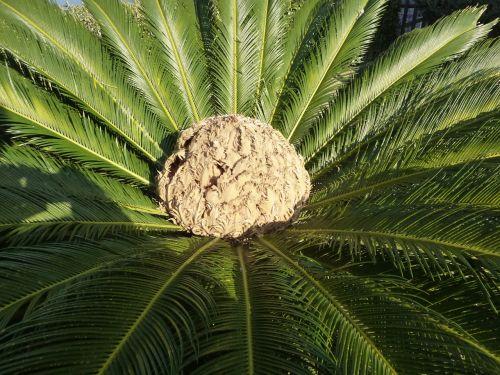 delnas,vaisiai,palmių vaisiai,žiedas,žydėti,palmių šerdis,cikas revoluta,vaisiai,augalas,sėklos,egzotiškas,pasėlių,palmė,užpildas,girnas