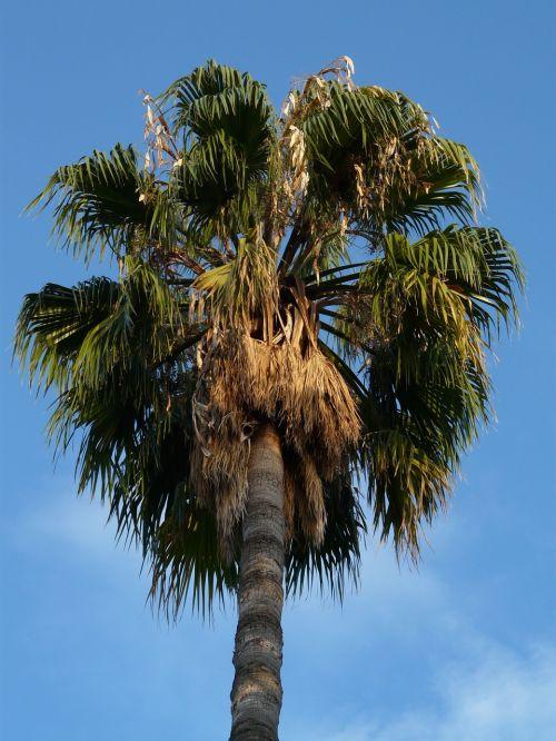 delnas,dienos palmių,Phoenix palmių,palmė,pasėlių,subtropinis,medis,phoenix,phoenix dactylifera