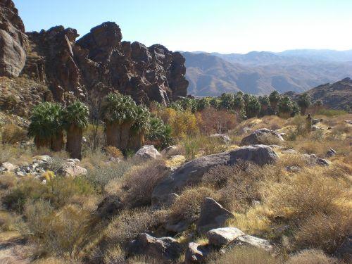 palmės kanjonas,gamta,palmės,Kalifornija,dykuma