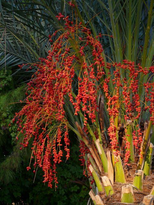 palmių vaisiai,palmių sėklos,dienos palmių,raudona,Phoenix palmių,palmė,delnas,datos vaisiai,datas,medis,data,vaisiai,phoenix,Kanariensis,užpildas,uogos,atogrąžų,subtropinis,pasėlių