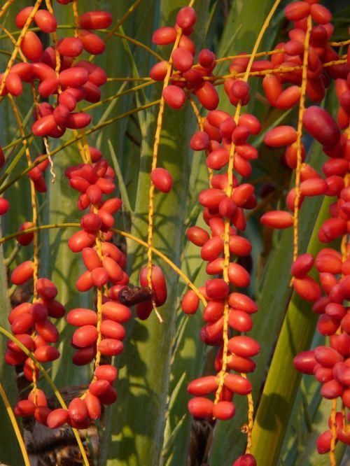 palmių vaisiai,palmių sėklos,dienos palmių,Phoenix palmių,palmė,delnas,datos vaisiai,datas,medis,data,vaisiai,phoenix,Kanariensis,užpildas,raudona,uogos,atogrąžų,subtropinis,pasėlių,uogų raudona