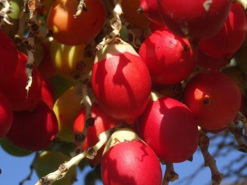 palmių vaisiai,raudona,vaisiai,dienos palmių,egzotiškas,Hawaii