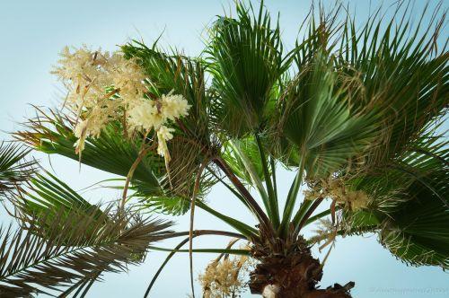 palmė,delnas,medis,atogrąžų,atostogos,gamta,kelionė,vasara,dangus,žalias,egzotiškas,palmių medis,kokoso,augalas,medis izoliuota,lapai,filialas