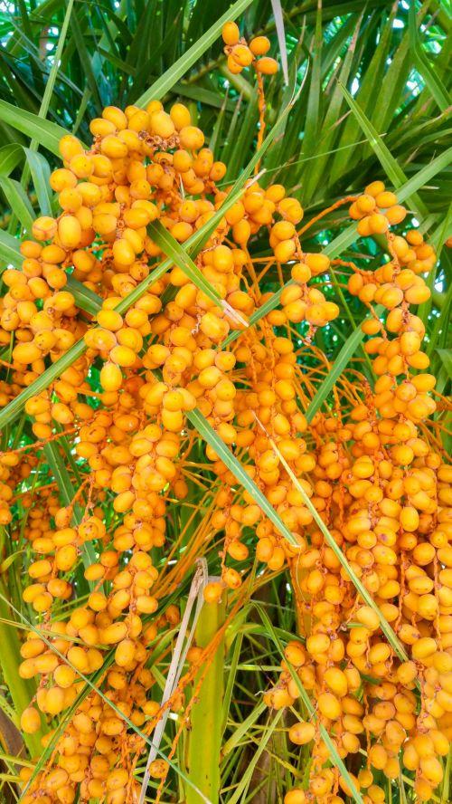 krūva, Iš arti, data, datas, egzotiškas, maistas, vaisiai, vaisiai, derlius, oranžinė, palmių & nbsp, medis, augalas, prinokę, medžiai, atogrąžų, geltona, palmių vaisiai