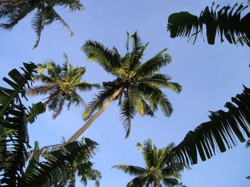 palmės,samoa,egzotiškas,Pietų jūra