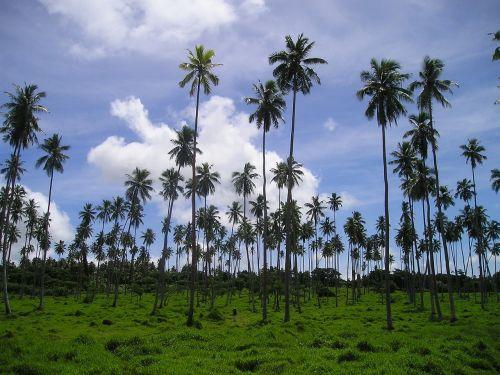 palmės,rießenpalmen,samoa,egzotiškas,Pietų jūra