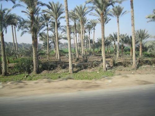 palmių & nbsp, medis, Egiptas, palmės egiptas