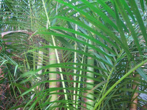 bambukas, stiebai, nendrės, lapai, fronds, palmių tipo bambukas