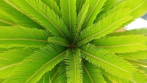 palma,lapai,žalias,medis,gamta,augalas,sodas,sprigas,Iš arti,augmenija,flora,konary,laukiniai,lapija,augalai