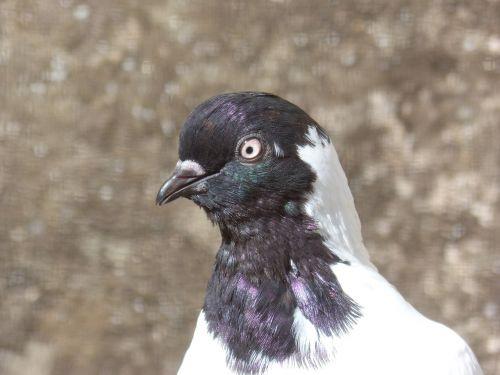 paloma,saugokis,ave,plunksnos,paukštis,galvos paloma